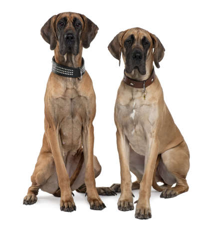 Two Great Danes, 1 year old, sitting in front of white background Stock Photo - 6379350