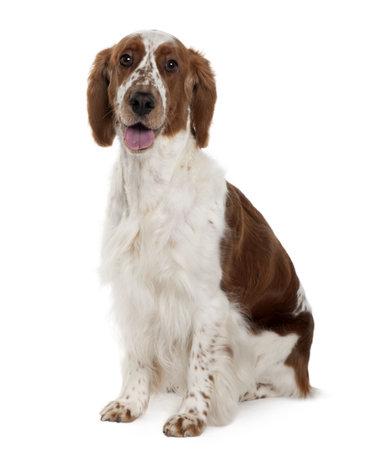 springer: Welsh Springer spaniel, 3 years old, sitting in front of white background