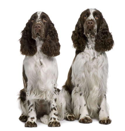 1 2 years: Two English Springer spaniels, 1 and 2 years old, sitting in front of white background Stock Photo