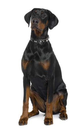 Doberman, 5 months old, sitting in front of white background Stock Photo - 6378923