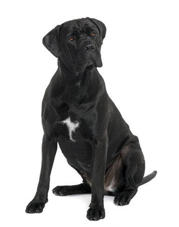 cane corso: Cane Corso cane, 1 anno di et�, seduto di fronte white background Archivio Fotografico