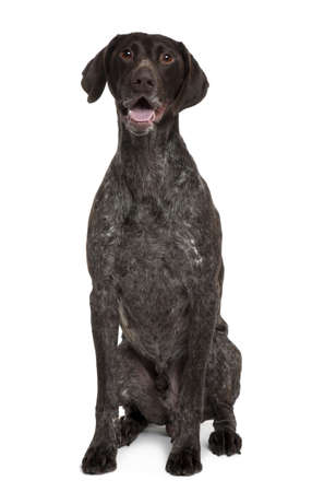 German Shorthaired Pointer, 5 years old, sitting in front of white background photo