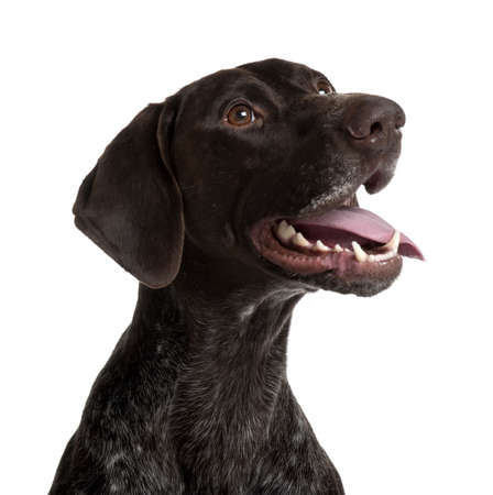 German Shorthaired Pointer, 5 years old, panting in front of white background photo