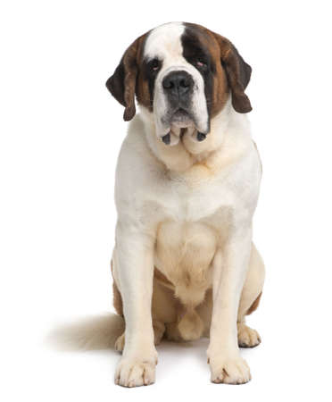 Saint Bernard, 4 years old, sitting in front of white background photo