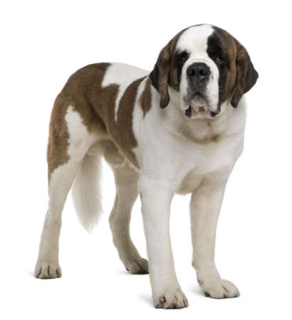 spotted dog: Saint Bernard, 4 years old, standing in front of white background