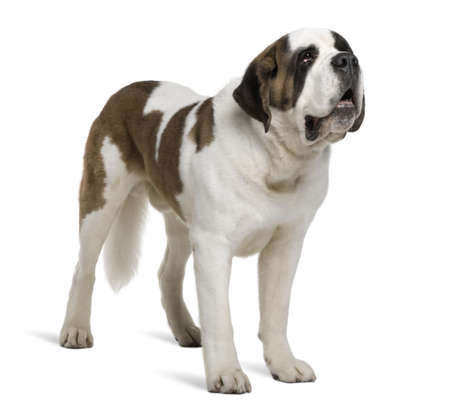 Saint Bernard, 4 years old, standing in front of white background Stock Photo - 6378818