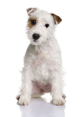 sitting small: Parson Russell terrier puppy, 5 months old, sitting in front of white background