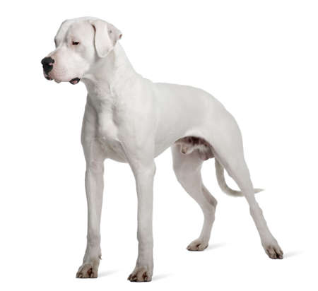 mastiff: Argentine Dogo or Argentinean Mastiff dog, 1 year old, standing in front of white background