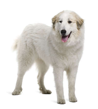 pyrenean mountain dog: Pyrenean Mountain Dog or Great Pyrenees, 9 months old, standing in front of white background