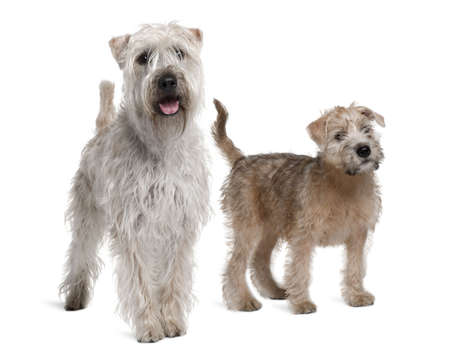11 years: Two Soft-Coated Wheaten Terriers, 1 year old and 11 years old, standing in front of white background