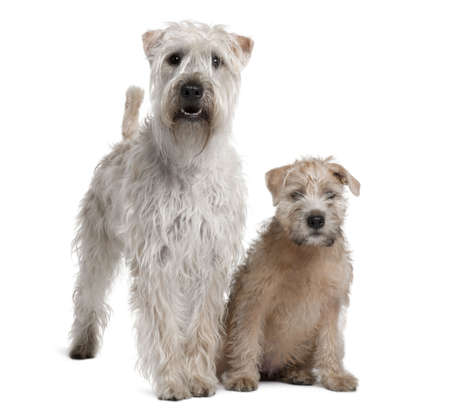 11 year old: Two Soft-Coated Wheaten Terriers, 1 year old and 11 years old, standing in front of white background