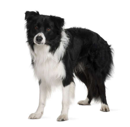 Border collie, 3 years old, standing in front of white background photo