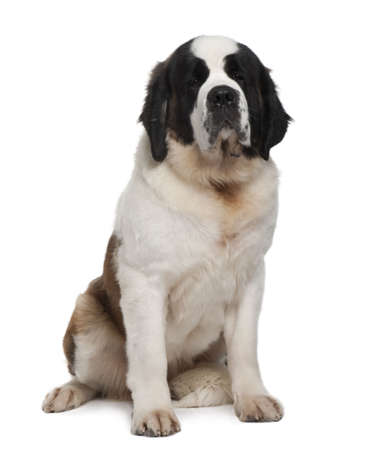 Saint Bernard, 15 months old, sitting in front of white background photo