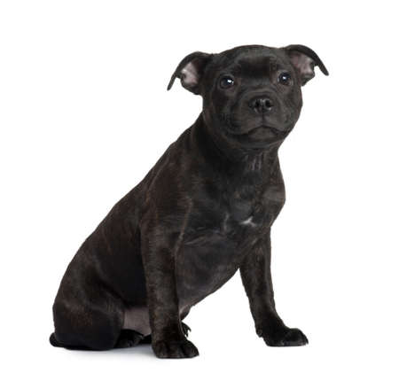 Staffordshire Bull Terrier puppy, 3 months old, sitting in front of white background photo