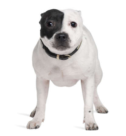 Staffordshire Bull Terrier, 7 months old, standing in front of white background photo