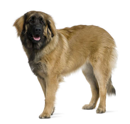 Leonberger dog, 8 months old, standing in front of white background Stock Photo - 6378762