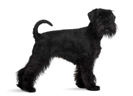 2 years old: Schnauzer, 2 years old, standing in front of white background