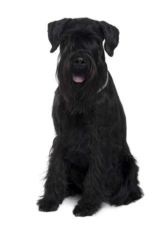 Schnauzer, 2 years old, sitting in front of white background photo