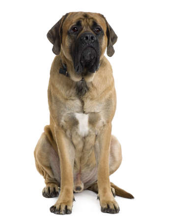 English Mastiff dog, 2 months old, sitting in front of white background Stock Photo - 6379000