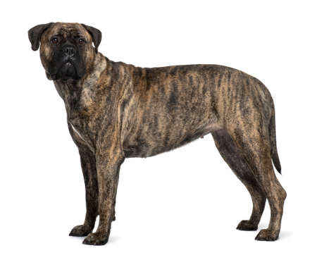 1 year old: Bullmastiff dog, 1 year old, standing in front of white background Stock Photo