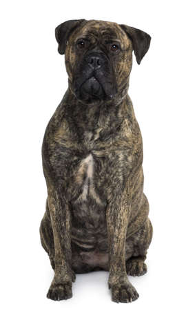 Bullmastiff dog, 18 months old, sitting in front of white background Stock Photo - 6378920