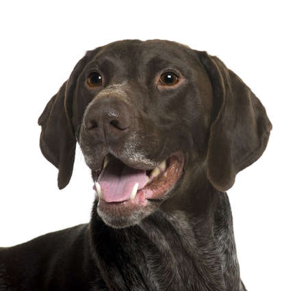 German Shorthaired Pointer dog, 5 years old, in front of white background photo