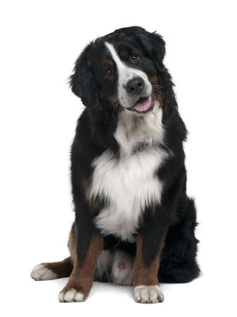 bernese: Bernese Mountain Dog, 1 year old, sitting in front of white background