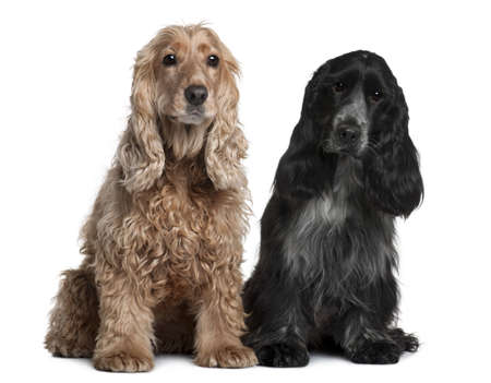 Two English Cocker Spaniels, 8 months and 1 year old, sitting in front of white background photo