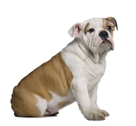 english bulldog puppy: English Bulldog puppy, 3 months old, sitting in front of white background Stock Photo