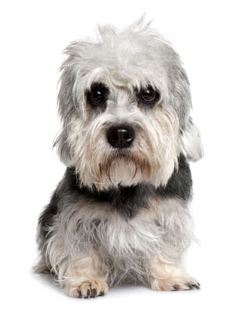 terriers: Dandie Dinmont Terrier, 2 years old, sitting in front of white background