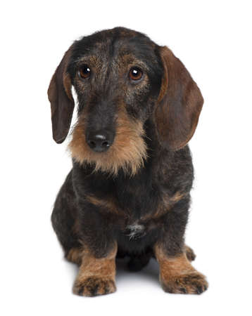 Dachshund, 9 months old, sitting in front of white background photo