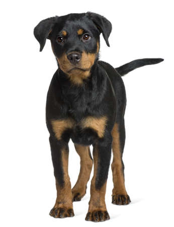 rottweiler: Rottweiler puppy, 3 months old, standing in front of white background