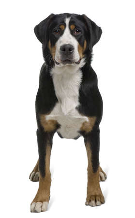 greater: Greater Swiss Mountain Dog, 2 years old, standing in front of white background