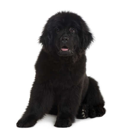 Newfoundland puppy, 4 Months old, sitting in front of white background photo