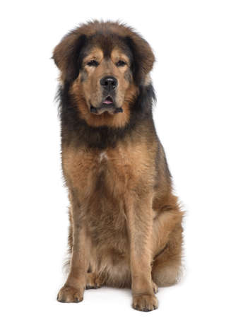 Tibetan mastiff, 3 years old, sitting in front of white background photo