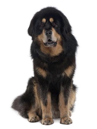 Tibetan mastiff dog, 4 years old, sitting in front of white background Stock Photo - 6379217