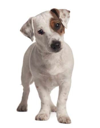 Jack Russell terrier, 4 months old, standing in front of white background photo