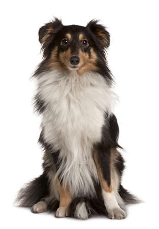 Shetland Sheepdog, 2 years old, sitting in front of white background photo