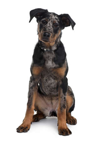 Beauceron dog, 5 months old, sitting in front of white background photo