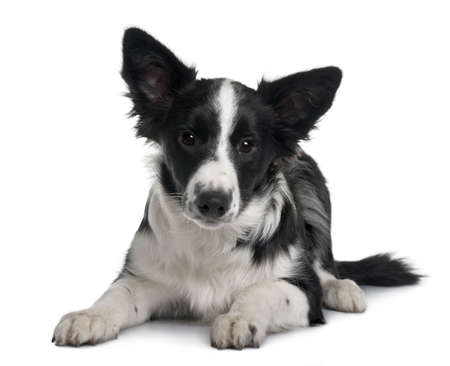 Border collie, 4 months old, sitting in front of white background Stock Photo - 6378898