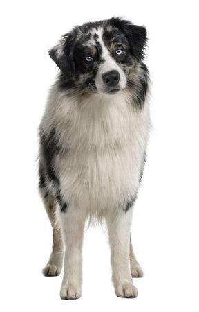australian shepherd: Australian Shepherd dog, 14 Months Old, sitting in front of white background Stock Photo