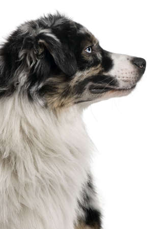 Australian Shepherd dog, 14 Months Old, sitting in front of white background photo
