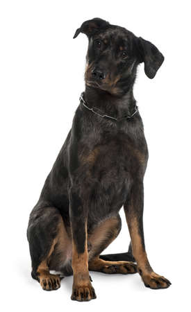 Beauceron dog, 10 Months Old, sitting in front of white background photo