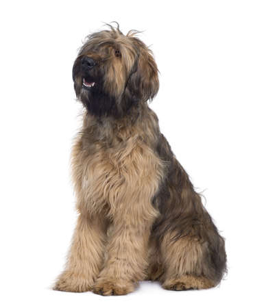 hairy adorable: Briard dog, 9 Months Old, sitting in front of white background
