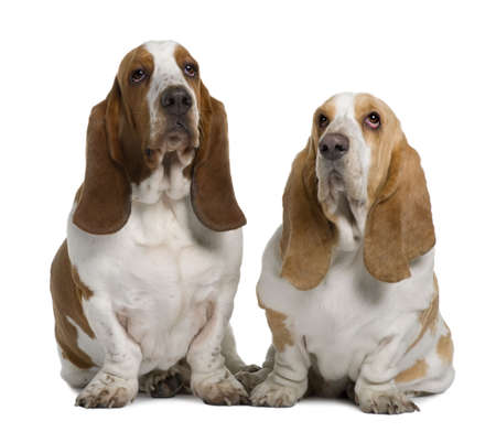 Two Basset Hounds, 1 Year Old And 3 Years Old, sitting in front of white background photo
