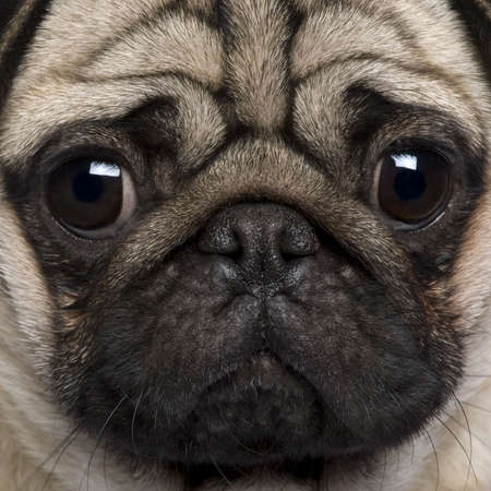 pug puppy: Close-up of Pug, 2 Years old