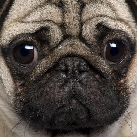 tete chien: Gros plan sur Pug, 2 ans.