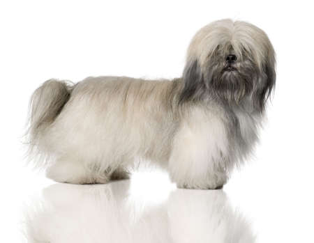 18: Lhasa Apso, 18 Months Old, standing in front of white background Stock Photo