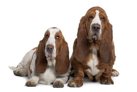 Two Basset Hounds, 2 years old, sitting in front of white background photo