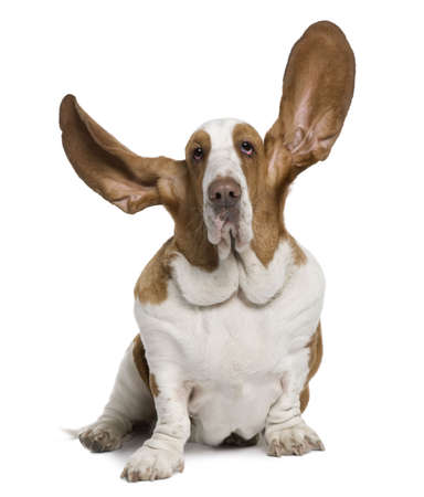 Basset Hound with ears up, 2 years old, sitting in front of white background Stock Photo - 6379077